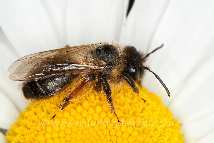 Sandbiene, Sand-Biene, beim Blütenbesuch auf Margerite, Nektarsuche, Blütenbestäubung, Andrena spec., (eventuell Andrena nigroaenea), Sandbienen, mining bees, burrowing bees, mining bee, burrowing bee