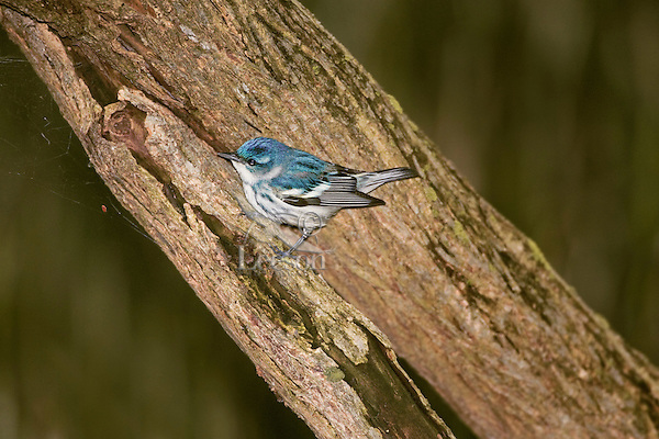 Cerulean Warbler (Dendroica cerulea). Spring. Point Pelee National Park, Ontario. Canada. Lake Erie. Migration.