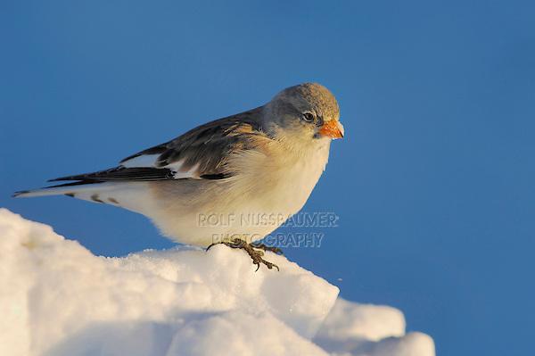 White-winged Snowfinch (Montifringilla nivalis), adult on snow, Switzerland