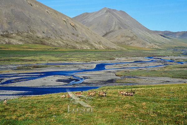 Barren ground caribou where coastal plains meet the mountains, Aichilik River, Arctic NWR, AK, Summer.