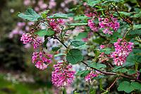 Ribes sanguineum, California Currant, flowering native shrub