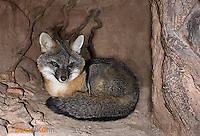 1118-0806  Gray Fox in Desert Underground Resting in Den, Urocyon cinereoargenteus © David Kuhn/Dwight Kuhn Photography