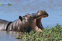 Common Hippopotamus (Hippopotamus amphibius), Masai Mara National Reserve, Kenya.