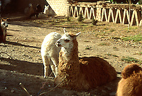 LAGO TITICACA-BOLIVIA. 08-09-2007. Las llamas hacen parte fundamental del sustento de los habitantes del Lago Titicaca. The Llamas make fundamental part of the livelihood of the inhabitants of Lake Titicaca. . (Photo: VizzorImage)