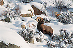 bighorn sheep, Ovis canadensis, ram, lamb, rocks, snow, Rocky Mountain National Park, Colorado