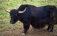 MA32-003z  American Bison - buffalo - Bison bison
