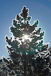 Morning sun through ponderosa pine with frost, Moraine Park, Rocky Mountain National Park, Colorado, USA