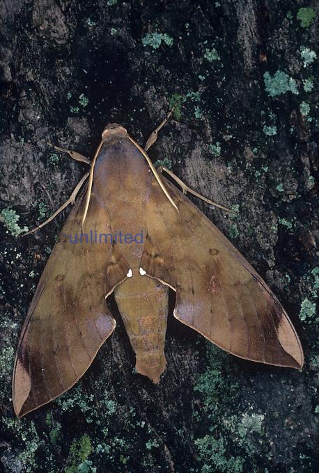 Fig Sphinx Moth (Pachylia ficus), Family Sphingidae, Florida, USA.