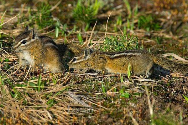 Yellow-pine Chipmunks (Tamias amoenus)--sexual behavior.