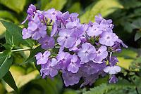 Phlox paniculata David's Lavender
