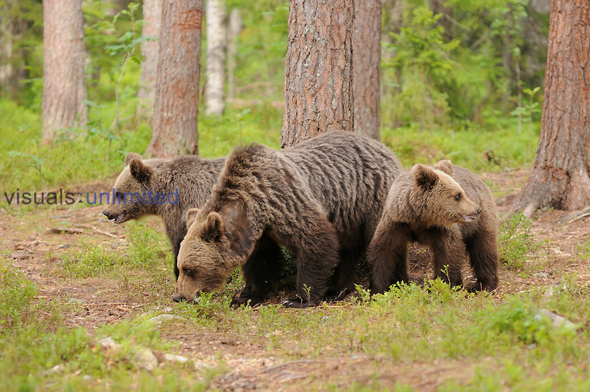 European Brown Bear (Ursus arctos) mother and cubs, Finland