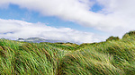 Windblown graass on ocean dunes, Nehalem Bay, Nehalem Bay State Park, Oregon.  Between the Pacific Ocean and Nehalem Bay, looking north to Manzanita, Oregon