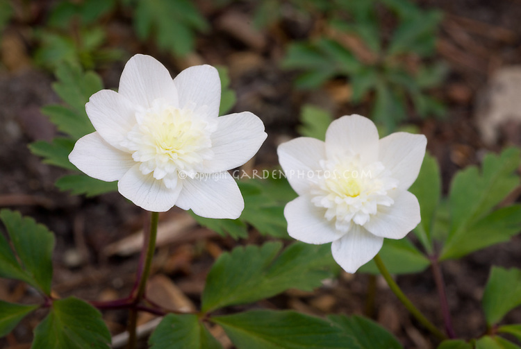 "Anemone nemerosa ""Green Fingers' sport, pink cast"" - white semi-double"