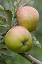 Apple 'Eccleston Pippin', mid September. An English dual-purpose culinary-dessert apple. From Cheshire, late 19th century.
