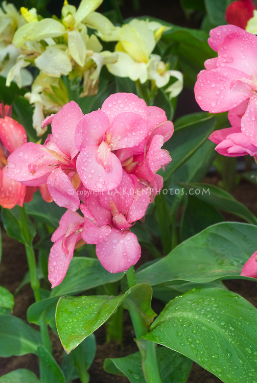 Canna Tropical Rose in pink flowers Takii Tropical series