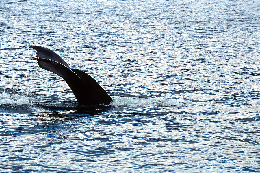 Iceland. Whale watching out of Húsavík. Humpback whale.