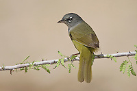 MacGillivray's Warbler - Oporornis tolmiei - female