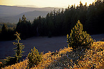 Young pine tree at sunset next to forest and meadow, Crater Lake National Park, Oregon