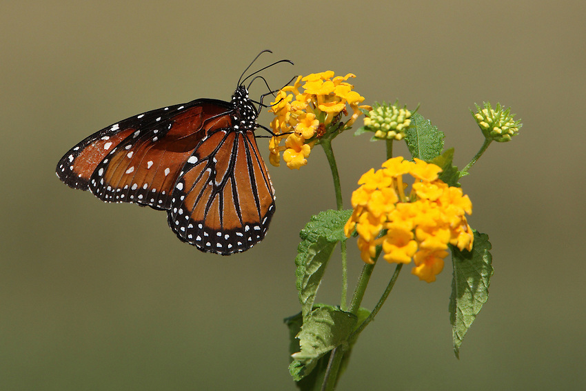Queen Butterfly and lantana flowers in Summer.