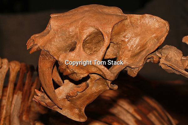 False Saber-tooth, Barbourofelis loveorum, Florida, Miocene Period