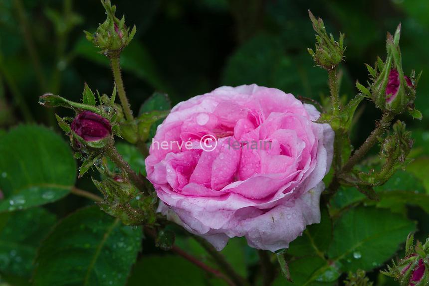 Rose 'Petite de Hollande'