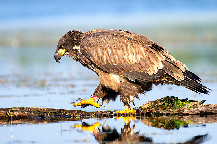 A young eagle demonstrates a parents behavior while fishing off a log.