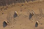 Harbor seals and tracks on beach