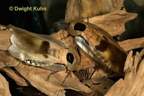OR13-513z  Giant Cave Cockroach, Blaberus giganteus