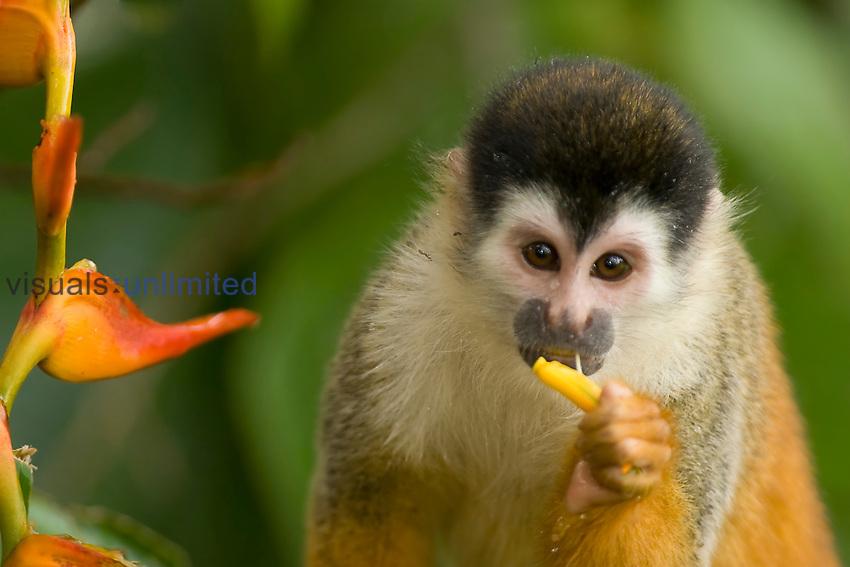 Black-crowned Central American Squirrel Monkey (Saimiri oerstedii oerstedii) Costa Rica