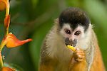 Black-crowned Central American Squirrel Monkey (Saimiri oerstedii oerstedii) Costa Rica