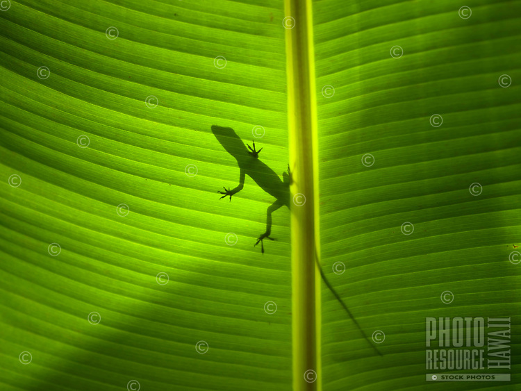 The shadow of an Anole lizard on the broad leaf of a banana tree on the Big Island.
