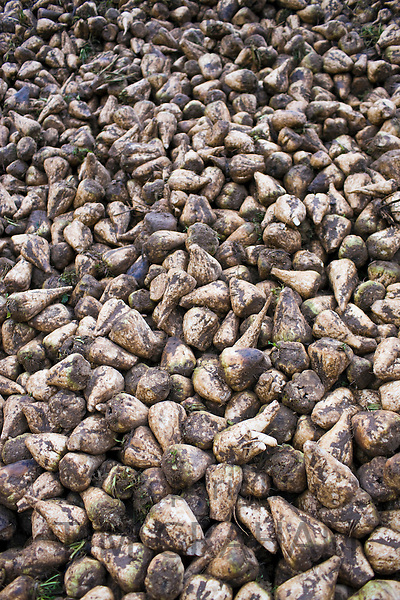 Sugar beet which can be used for animal feed or ecofriendly green biofuel stacked in a field near Holkham, Norfolk