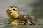 Mallard ducklings can swim almost immediately after they hatch, but they're not born waterproof.<br />