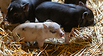 WOODBURY,  CT-051819JS03- Week-old piglets were one of the big attractions during the annual Flanders Festival:  A Celebration of Art, Farming &amp; Nature at the Flanders Nature Center in Woodbury on Saturday. <br /> Jim Shannon Republican American