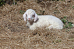 Baby angora goat just 3 days old