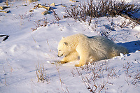 polar bear cub, Ursus maritimus, plays with discarded bottle, Churchill, Manitoba, Canada, Arctic, polar bear, Ursus maritimus