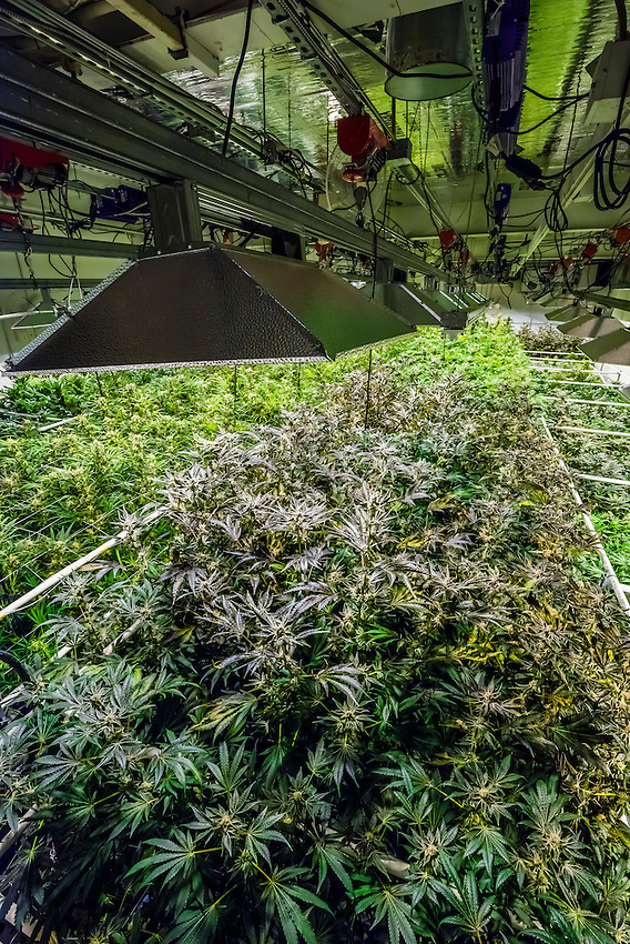 Grow room, Sticky Buds, Denver, Colorado USA.