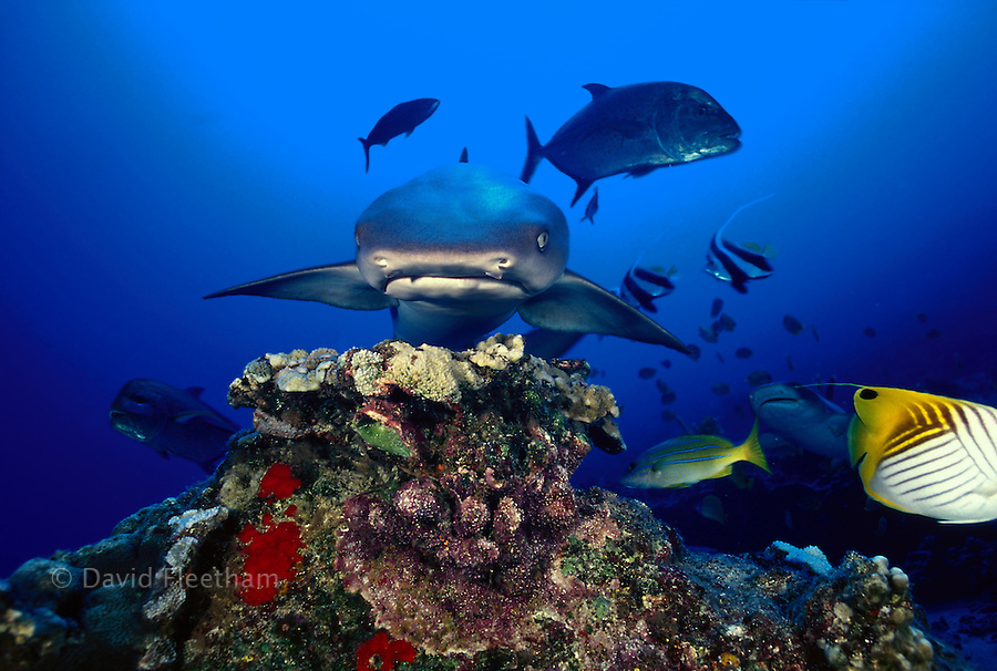 "A ""nose"" on view of a whitetip reef shark, Triaenodon obesus, with miscellaneous reef fish.    Hawaii..."