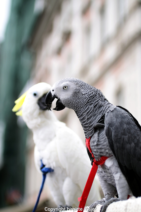 Charlie an African grey Parrot and his mate Angelo, a Sulphur-crested Cockatoo, sitting on a pole in the City Center enjoying people with their friendly nature and chatting.