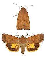73.346 (2112)<br /> Least Yellow Underwing - Noctua interjecta