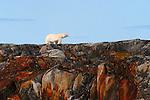 Polar bear;  ursus maritimus