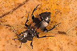 Carrion beetle  Nicrophorus marginatus
