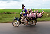 Transporting 3 pigs by motorbike on the road between Siem Reap and Battambang the agriculture region of Cambodia