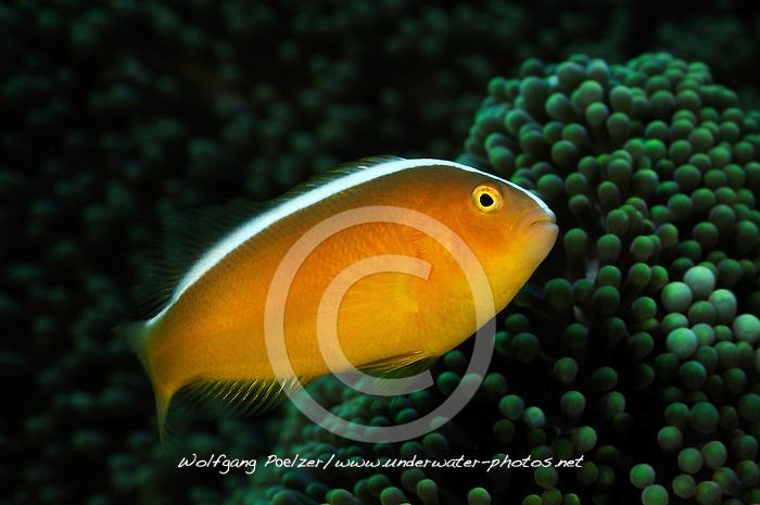 Amphiprion sandaracinos, Oestlicher Weissruecken Anemonenfisch, Eastern skunk anemonefish, Tulamben, Bali, Indonesien, Indopazifik, Indonesia Asien, Indo-Pacific Ocean, Asia