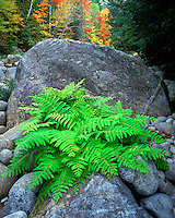 Fern and boulders along the Boquet River; Giant Mountain Wilderness; Adirondack and Preserve, NY