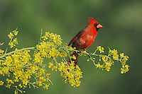 Northern Cardinal, Cardinalis cardinalis,male on blooming Paloverde (Parkinsonia texana) , Starr County, Rio Grande Valley, Texas, USA, March 2002