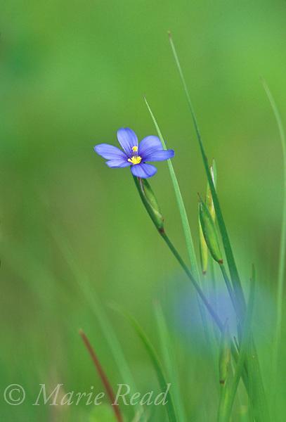 Blue-eyed Grass (Sisyrinchium sp.) in flower, St. Charles, Arkansas, USA<br /> Slide # P8-41