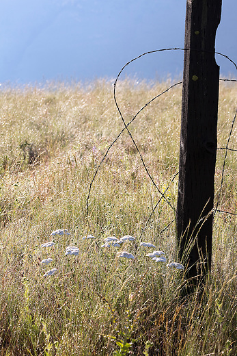An old barbed wire fence and yarrow flowers