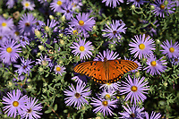 Gulf Fritillary (Agraulis vanillae), Hill Country, Texas, USA
