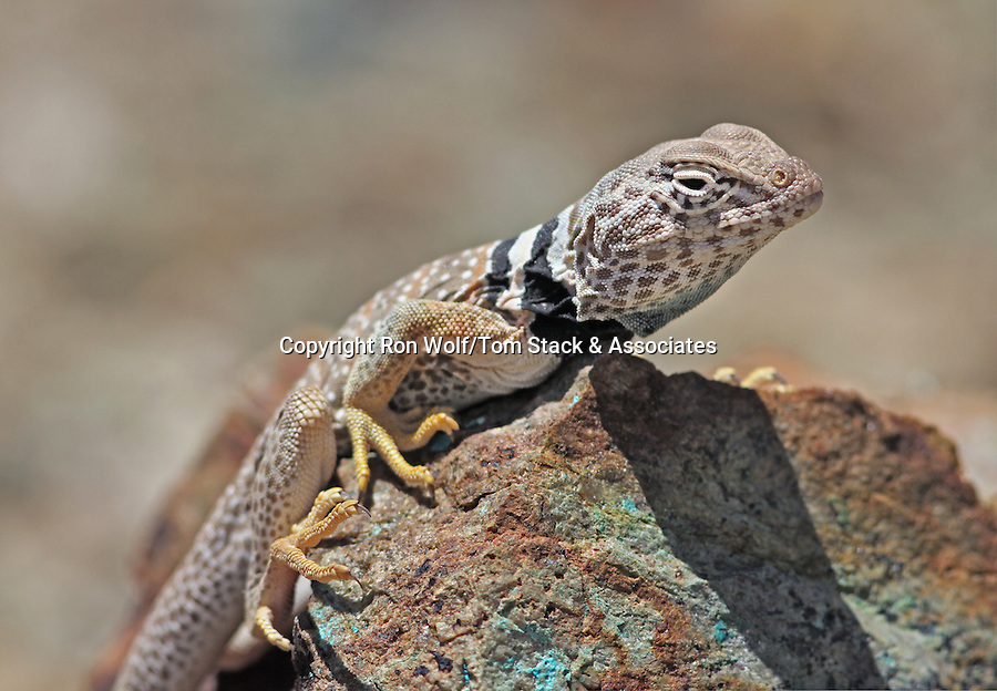 Great Basin Collared Lizard (Crotaphytus bicinctores) male. Near Yerington, Lyon Co., Nevada.